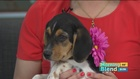 Basset and Beagle Rescue of the Heartland...