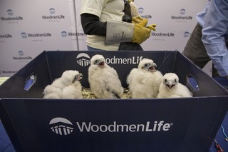 Falcon chicks banded, genders revealed