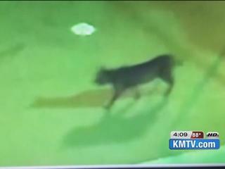 Lynx visits neighborhood pool