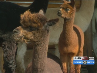 Alpaca farm to offer free admission this weekend