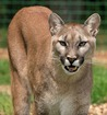 Mountain lion killed in Northwest Iowa