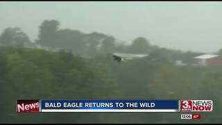 Bald eagle 'Bolt' released into the wild