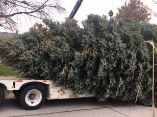Durham Christmas tree makes it way to museum